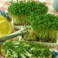 Витаминный салат растет в тарелке