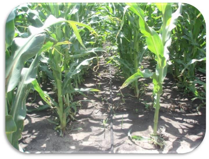 Можно ли сажать кукурузу рядом с арбузами 86